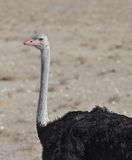 Detailed Ostrich Stock Images