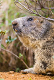Detailed outdoor portrait of alpine groundhog Marmota monax Stock Images
