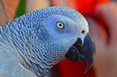 Detailed parrot head shot Stock Photo