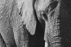 Detailed photo of an African elephant, photographed in monochrome at Knysna Elephant Park, South Africa stock image