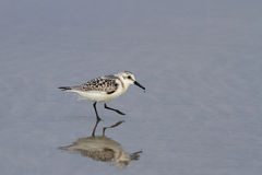Sanderling Royalty Free Stock Images