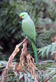 Indian parrot Stock Photo