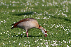 Detailed photo of the egyptian goose Stock Images