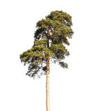 Detailed photo of European pine tree isolated on white Stock Image