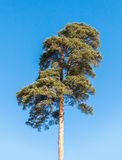 Detailed photo of European pine tree over blue sky Royalty Free Stock Images