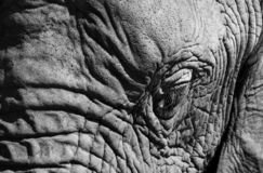 Detailed photo of the eye of an African elephant, photographed at Knysna Elephant Park, South Africa. Detailed photo of the eye of an African elephant royalty free stock photo