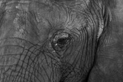 Detailed photo of the face of an African elephant, photographed in monochrome at Knysna Elephant Park, South Africa stock images
