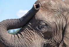 Detailed photo of the face and trunk of an African elephant, photographed at Knysna Elephant Park, South Africa. Detailed photo of the face and trunk of an royalty free stock image