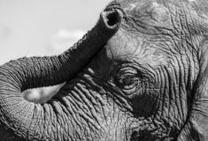 Detailed photo of the face and trunk of an African elephant, photographed at Knysna Elephant Park, South Africa. Detailed photo of the face and trunk of an stock image