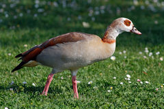Detailed photo of the goose egypt Royalty Free Stock Image
