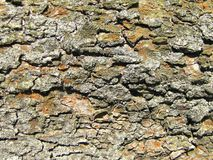 Detailed photo of lark bark structure Royalty Free Stock Image