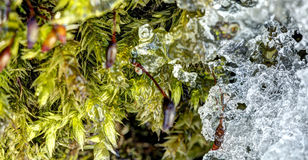 Detailed photo of moss growing on tree bark bordering with melting ice Stock Photos