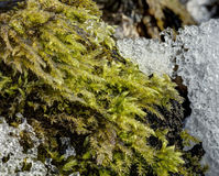 Detailed photo of moss growing on tree bark bordering with melting ice Royalty Free Stock Photography