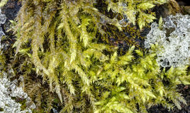 Detailed photo of moss growing on tree bark bordering with melting ice Royalty Free Stock Image