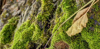 Detailed photo of moss growing on tree bark with a large brown leaf in the foreground Royalty Free Stock Photo