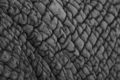 Detailed photo of the skin of an African elephant, photographed in monochrome at Knysna Elephant Park, South Africa. Detailed photo of the skin of an African royalty free stock images