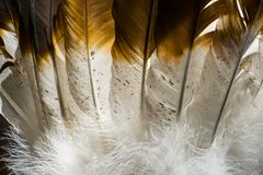 Native American Indian feathers in brown and white. This is a detailed photo of some feathers from an Indian headdress costume. I used special lighting to bring royalty free stock image