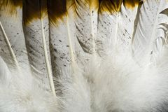 Native American Indian feathers in brown and white. This is a detailed photo of some feathers from an Indian headdress costume. I used special lighting to bring stock image