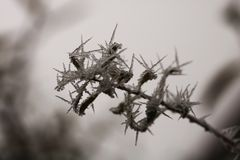 Frozen bough with needles of ice. Detailed photography of the frozen bough with blurred background royalty free stock image