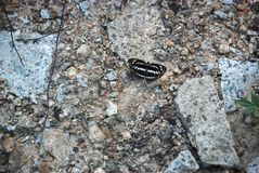 Detailed picture of the black and white butterfly on the stones stock images
