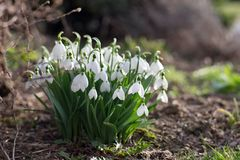 Detailed picture of the bunch of Snowflake or Snowdrop flower in the bloom. Stock Images
