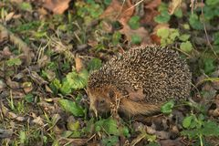 Detailed Picture of the European hedgehog in the wood.in the spring just after the winter sleep or hibernation. Royalty Free Stock Photos