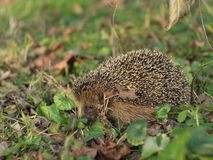 Detailed Picture of the European hedgehog in the wood.in the spring just after the winter sleep or hibernation. Royalty Free Stock Images