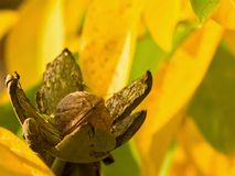 Detailed Picture of riped walnut with open green skin and shallow focus yellow autumn leaves on the tree in the garden. Stock Photo