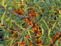 Detailed Picture on the sea buckthorn bush with berries riped just before the harvest. Royalty Free Stock Image