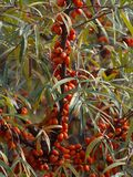 Detailed Picture on the sea buckthorn bush with berries riped just before the harvest. Stock Photography
