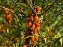 Detailed Picture on the sea buckthorn bush with berries riped just before the harvest. Stock Photos