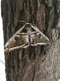 Detailed picture of the wooden big night moth royalty free stock photos