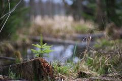 Detailed Picture of the young and small spruce tree growing on the old and rotten tree stump. Stock Photo