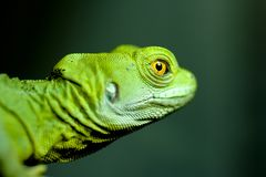 Detailed portrait of beautiful green lizard with orange eyes Royalty Free Stock Photo