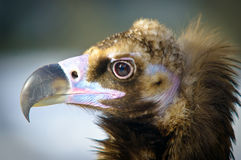Detailed portrait of a brown head vulture Stock Photography
