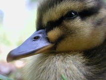 Detailed Portrait of a Duckling Royalty Free Stock Photo