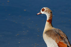 Detailed portrait of the egyptian goose Royalty Free Stock Images