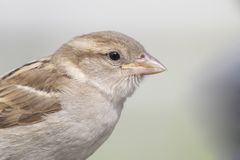 A detailed portrait of a female House sparrow Passer domesticus in a soft sunlight stock image