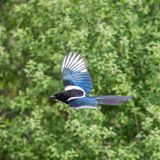 Detailed portrait flying Eurasian magpie pica pica stock photos