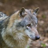 Detailed portrait isolated wolf canis lupus royalty free stock photography