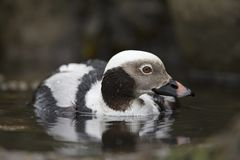 A detailed portrait of a long-tailed duck Clangula hyemalis swimming and foraging in the harbour in Hundested Denmark. royalty free stock photos