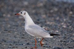 Portrait of natural common black-headed gull Larus ridibundus. Detailed portrait of natural black-headed gull  Larus ridibundus Royalty Free Stock Photography