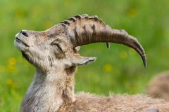 Detailed portrait natural relaxed male alpine capra ibex capricorn in meadow. Eyes closed stock photos