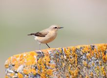 Detailed portrait of The northern wheatear or wheatear Oenanthe oenanthe. On beige blurred background. May be used for bird guiding Royalty Free Stock Photography