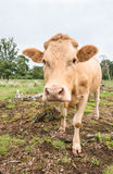 Detailed portrait of a pale brown cow Royalty Free Stock Photography