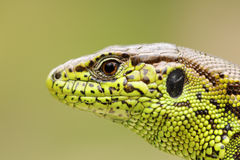 Detailed portrait of sand lizard Royalty Free Stock Images