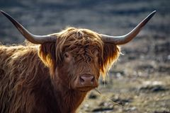 Detailed portrait of a scottish highland cattle royalty free stock photography