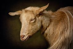 Portrait of Hornless Golden Guernsey Goat Stock Images