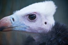 Detailed portrait of a white head vulture Royalty Free Stock Photography