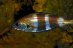 Detailed Pouting (Trisopterus luscus). A detailed Pouting fish (Trisopterus luscus Stock Image